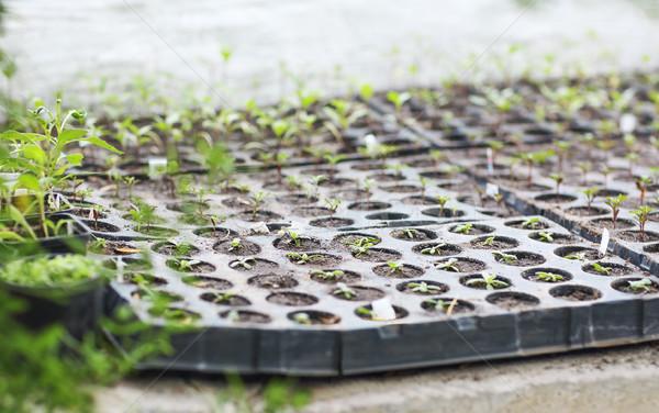 Boîte semis effet de serre fleurs nature Photo stock © dashapetrenko