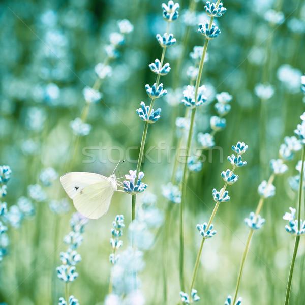 美しい 詳細 ラベンダー畑 蝶 色 花 ストックフォト © dashapetrenko
