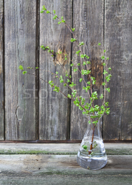 Sprig branch with leaves just blossoming on wooden background  Stock photo © dashapetrenko