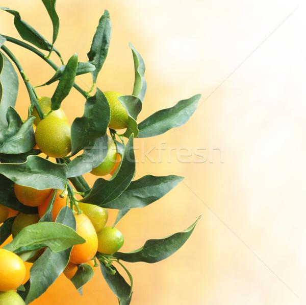 Kumquat tree with fruit and leaves Stock photo © dashapetrenko
