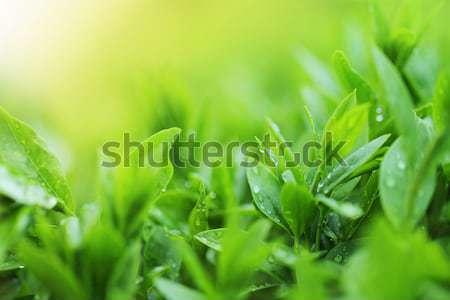 Chá plantação chuva árvore natureza Foto stock © dashapetrenko