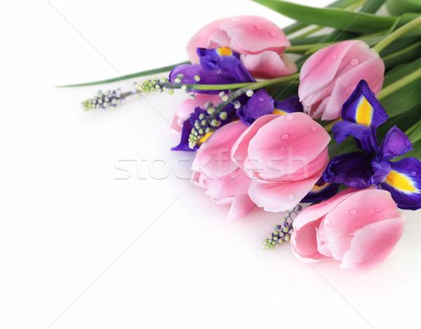 Belle fraîches fleurs du printemps sombre pourpre iris Photo stock © dashapetrenko