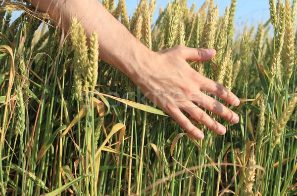 Buğday Stok Fotoğraflar Stok Görüntüler Ve Vektörler Sayfa 8
