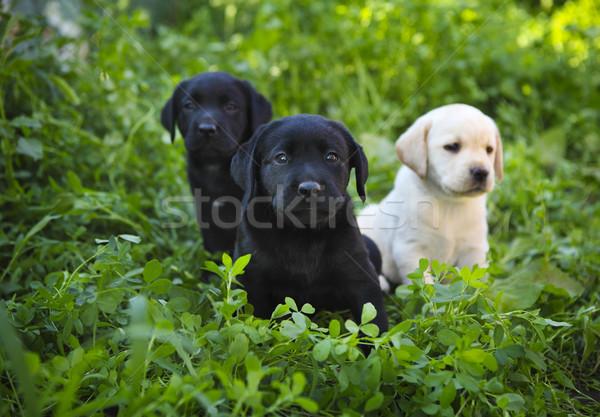 Groupe adorable golden retriever chiots herbe verte bébé Photo stock © dashapetrenko
