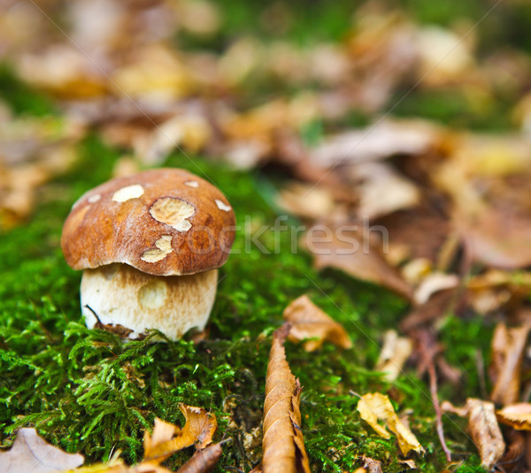Forest mushroom in the grass Stock photo © dashapetrenko
