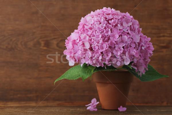 Blossoming pink hydrangea in pot Stock photo © dashapetrenko