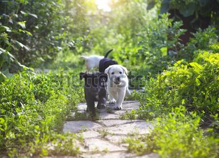 Group of golden retriever puppies in the yard  Stock photo © dashapetrenko