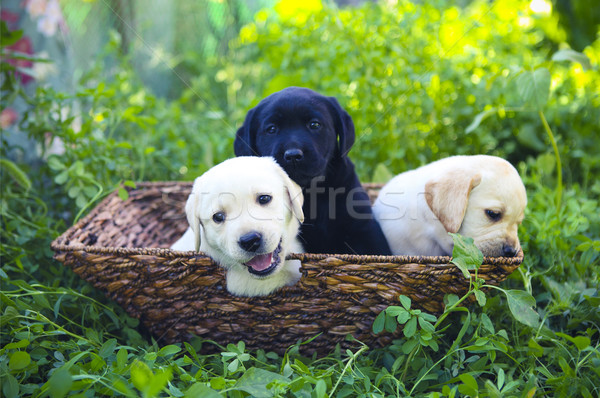 Groupe adorable golden retriever chiots panier herbe verte Photo stock © dashapetrenko