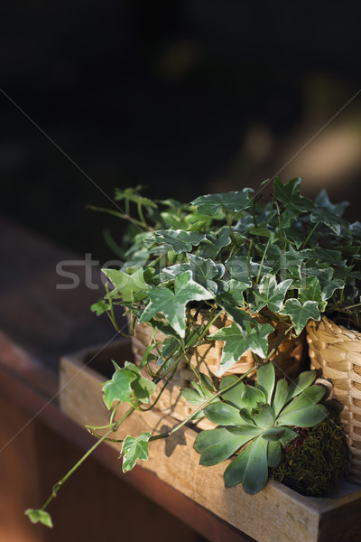 House plants, green succulents in a wooden box on a wooden table Stock photo © dashapetrenko