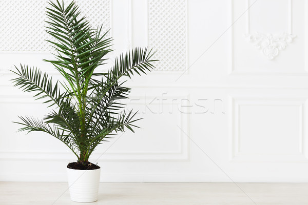 The empty in light tones room with palm plant Stock photo © dashapetrenko