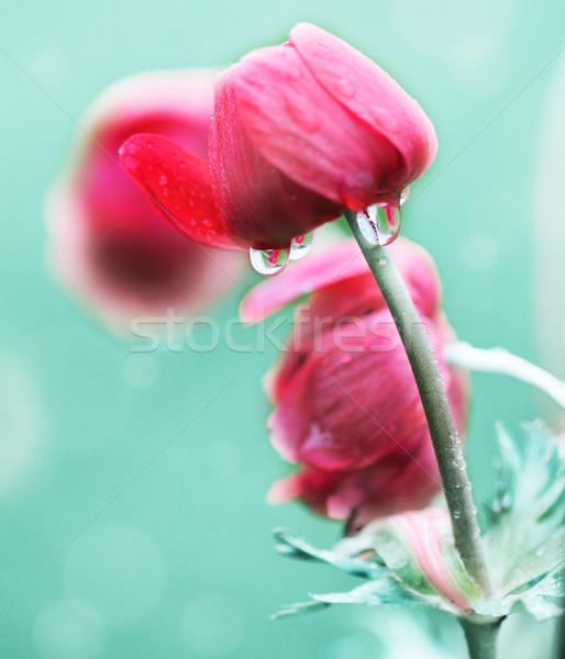 Mooie klaprozen regenachtig dag veld bloem Stockfoto © dashapetrenko