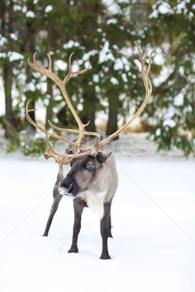 reindeer in its natural environment in scandinavia  Stock photo © dashapetrenko