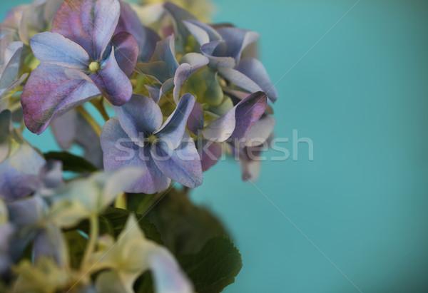Close-up of a blue hydrangea plant Stock photo © dashapetrenko