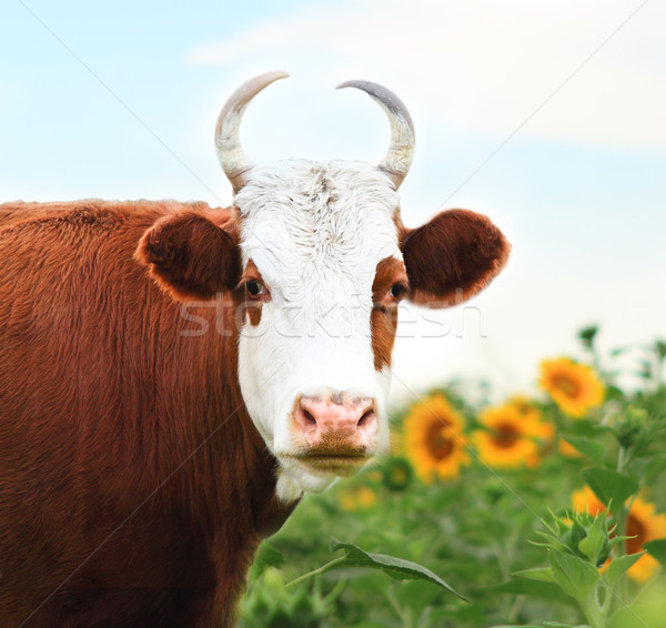 Close up portrait of the white and brown cow  Stock photo © dashapetrenko