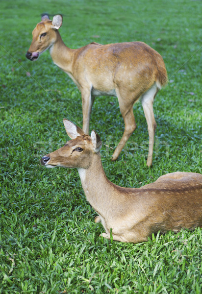 Two curious roe deer on the green grass Stock photo © dashapetrenko