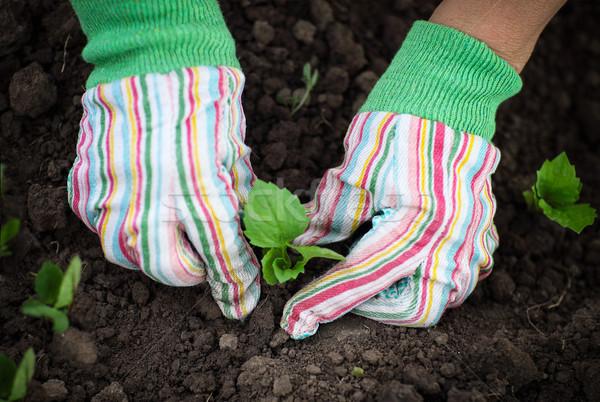 Mujer planta de semillero vegetales jardín Foto stock © dashapetrenko