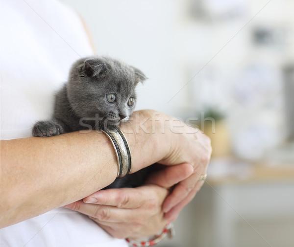 Little grey cat sitting in young woman hands Stock photo © dashapetrenko