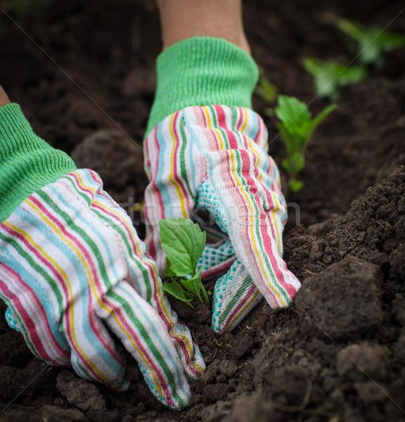 Senior vrouw kiemplant plantaardige tuin Stockfoto © dashapetrenko