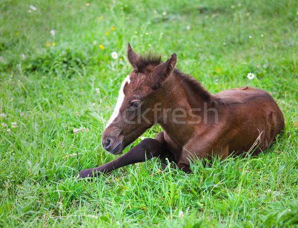 Bébé cheval herbe verte printemps ciel Photo stock © dashapetrenko