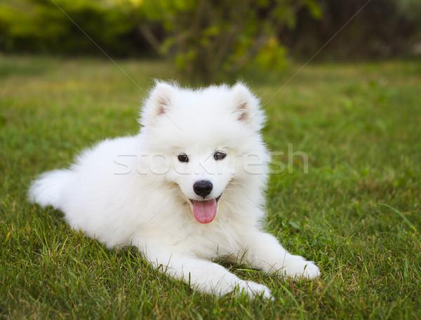 Funny Samoyed puppy in the summer garden  Stock photo © dashapetrenko