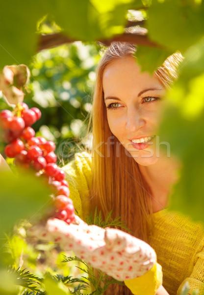 Woman winegrower picking grapes  Stock photo © dashapetrenko