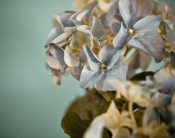 Close-up of a blue hydrangea in retro style Stock photo © dashapetrenko