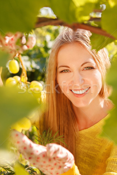 Woman winegrower picking grapes  Stock photo © dashapetrenko