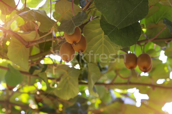 Kiwi árvore frutífera comida natureza verde Foto stock © dashapetrenko