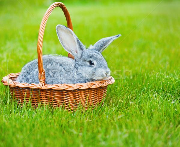 Cute little grey rabbit on green grass Stock photo © dashapetrenko
