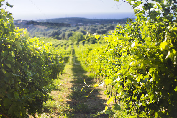 Row of beautiful grape yard before sunset with mountain Stock photo © dashapetrenko