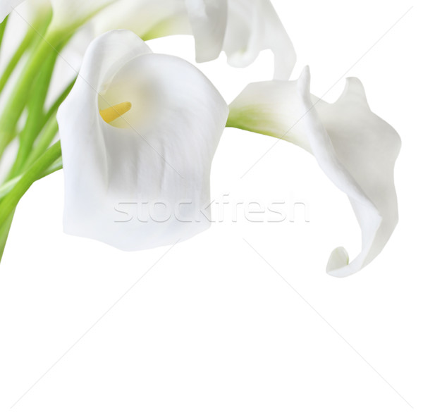 Stock photo: White Cala Lilies