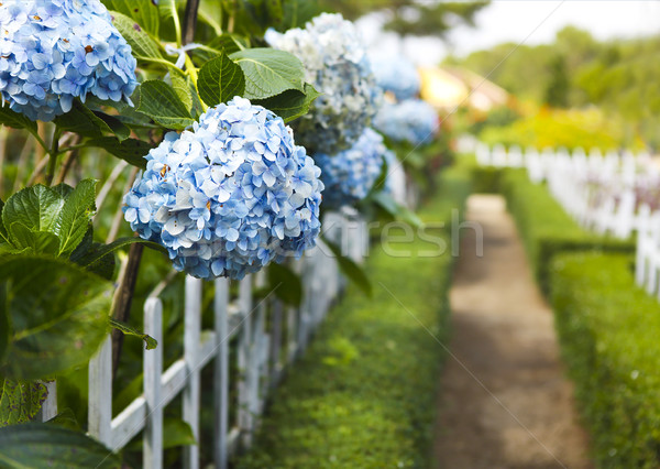 Hydrangea flower (Hydrangea macrophylla) in a garden Stock photo © dashapetrenko