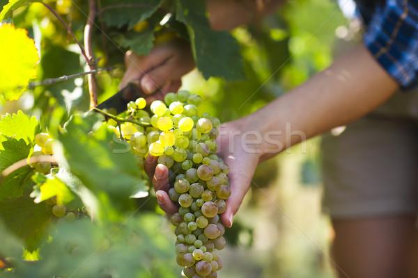 Grapes harvest. Farmer with freshly harvested grapes. Stock photo © dashapetrenko
