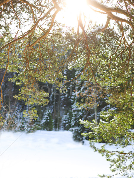Stock photo: Fir branches covered with snow