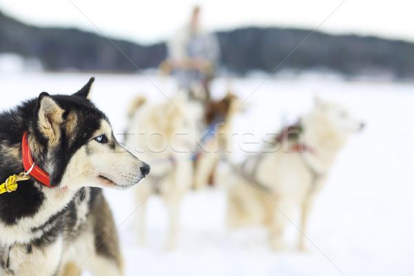 ハスキー 犬 北方 極地の サークル 犬 ストックフォト © dashapetrenko