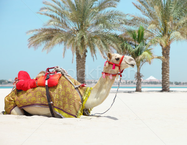 Stock photo: Camel resting on the beach