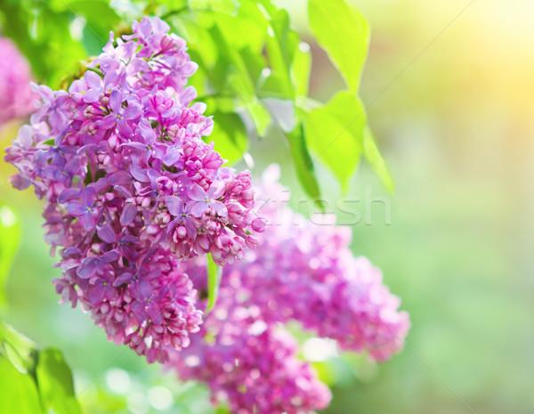 филиала сирень цветы листьев красивой bokeh Сток-фото © dashapetrenko