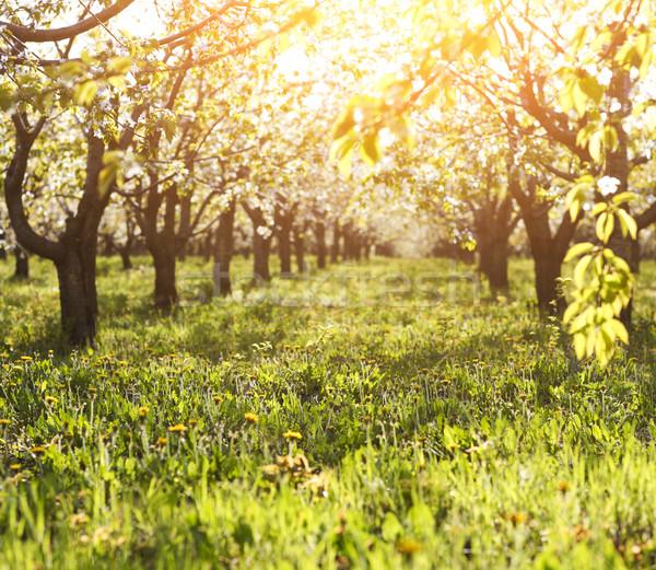 Kiraz ağaç bahçe çim güneş Stok fotoğraf © dashapetrenko