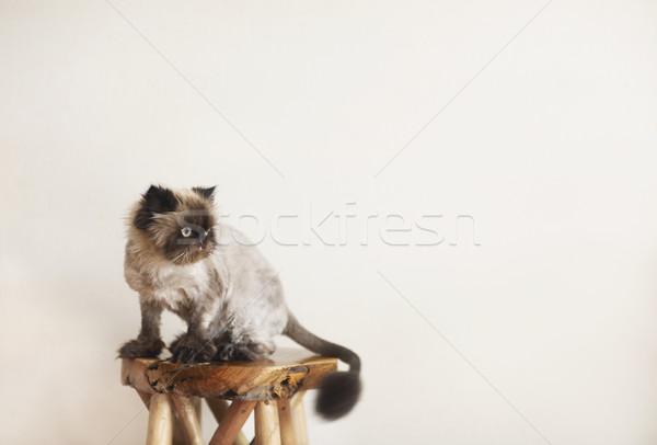 Perzsamacska extrém divat macska bolt stílus Stock fotó © dashapetrenko