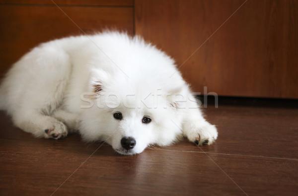 Cute little Samoyed puppy  Stock photo © dashapetrenko