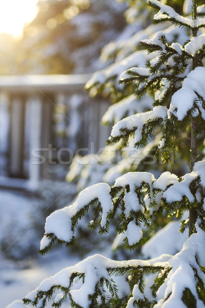 Fir branches covered with snow Stock photo © dashapetrenko