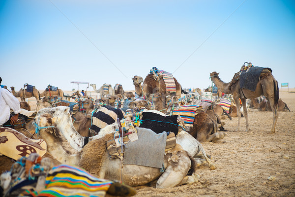Arabian camels or Dromedary also called a one-humped camel in th Stock photo © dashapetrenko