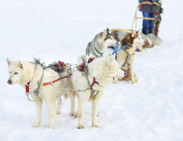 Sledding with husky dogs Stock photo © dashapetrenko