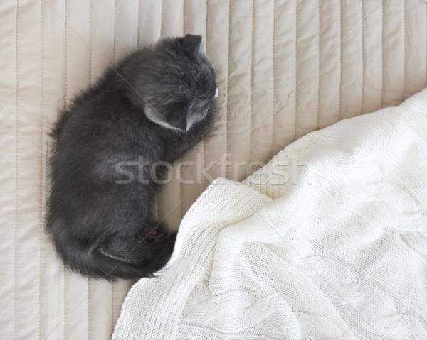 Grey purebred british kitten sleeps on blanket Stock photo © dashapetrenko