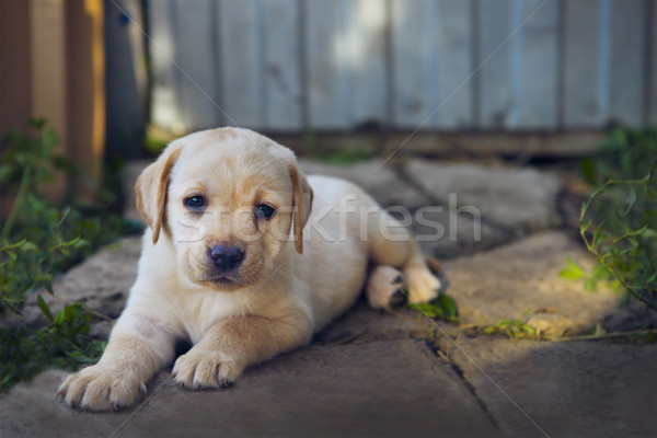 Aanbiddelijk golden retriever puppy portret baby hond Stockfoto © dashapetrenko