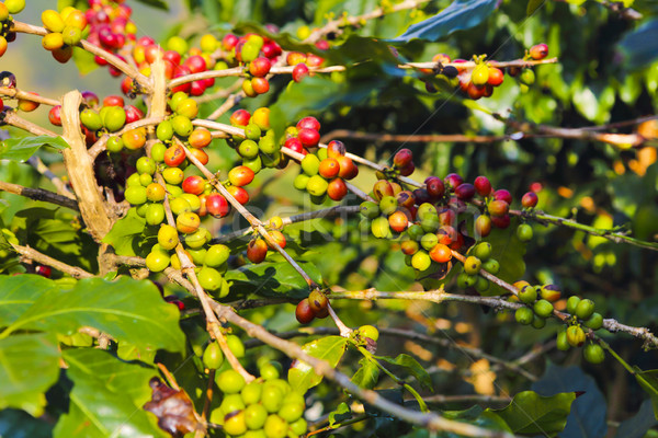 Coffee beans ripening on tree in Viet Nam Stock photo © dashapetrenko
