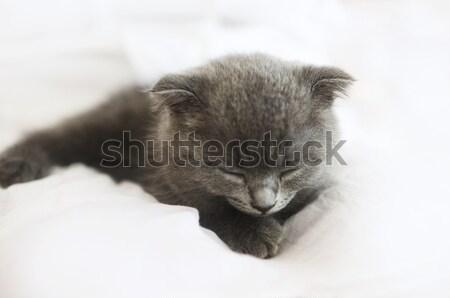 Grijs brits kitten deken Stockfoto © dashapetrenko