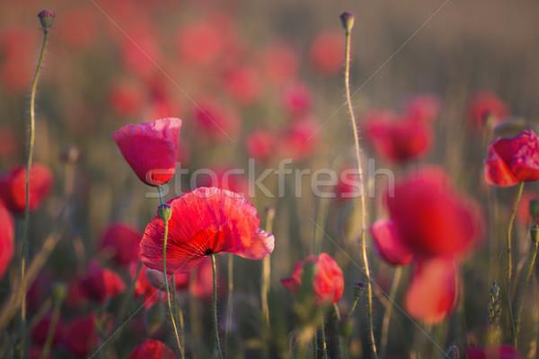 Papoula campo sol conjunto flor Foto stock © dashapetrenko