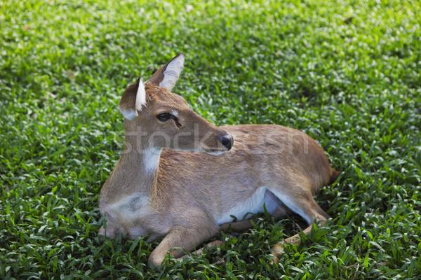 Ikra szarvas zöld fű közelkép háttér szépség Stock fotó © dashapetrenko