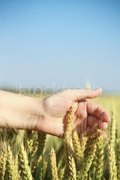 Mão campo de trigo mulher corrida comida natureza Foto stock © dashapetrenko